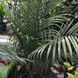 Majesty Palm-Ravenea rivularis